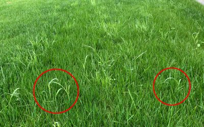 Prevent poa (common bluegrass) in your lawn